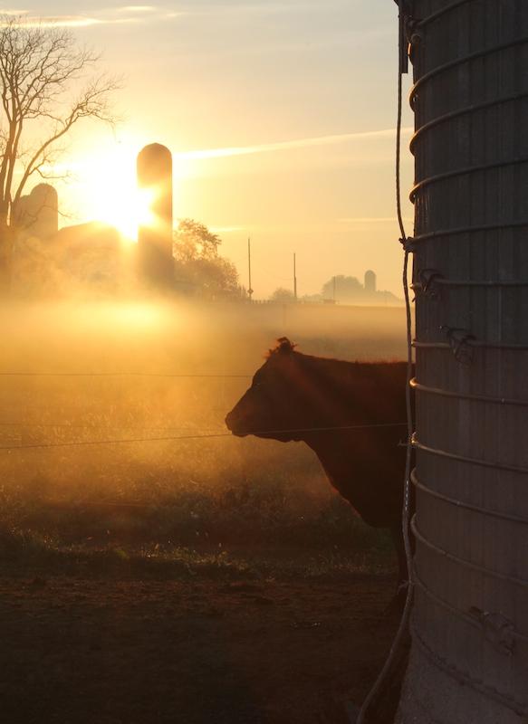 cow-greets-sunrise