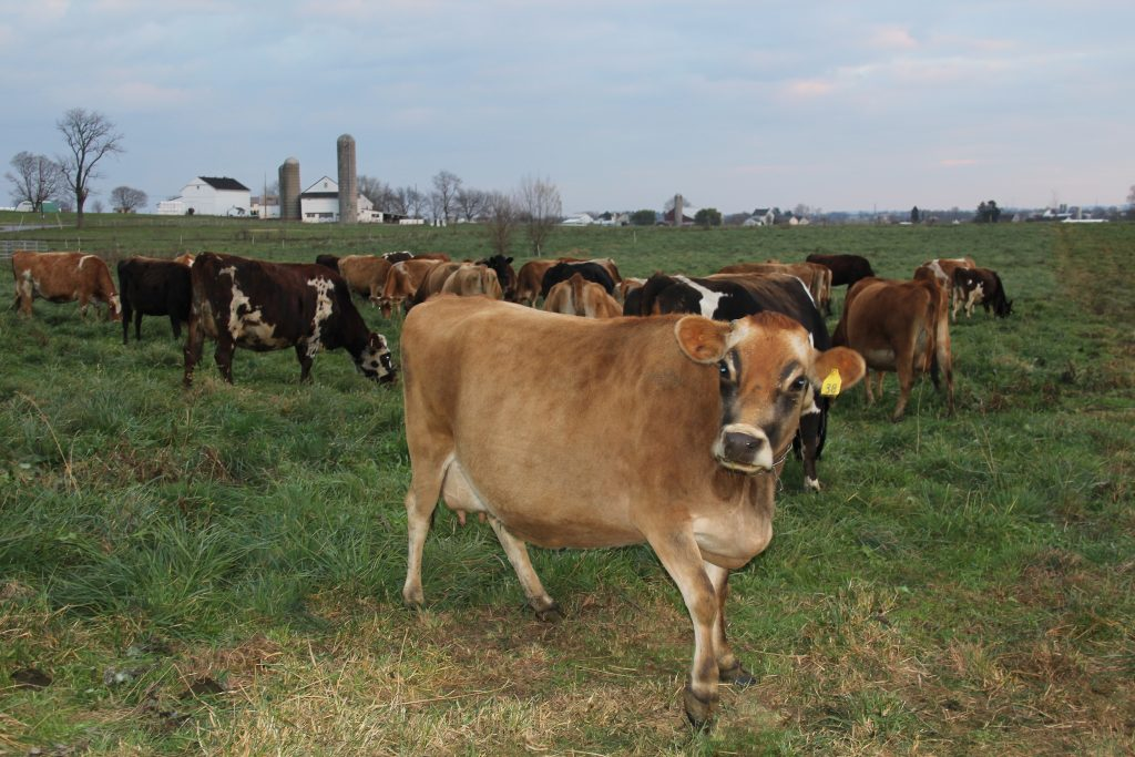 jersey-cow-pregnant